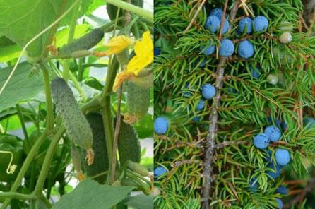 Огурцы с ягодами можжевельника